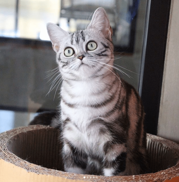 Awesome American Shorthair Cat Breeds American Shorthair American Shorthair Cat Quiet Cat