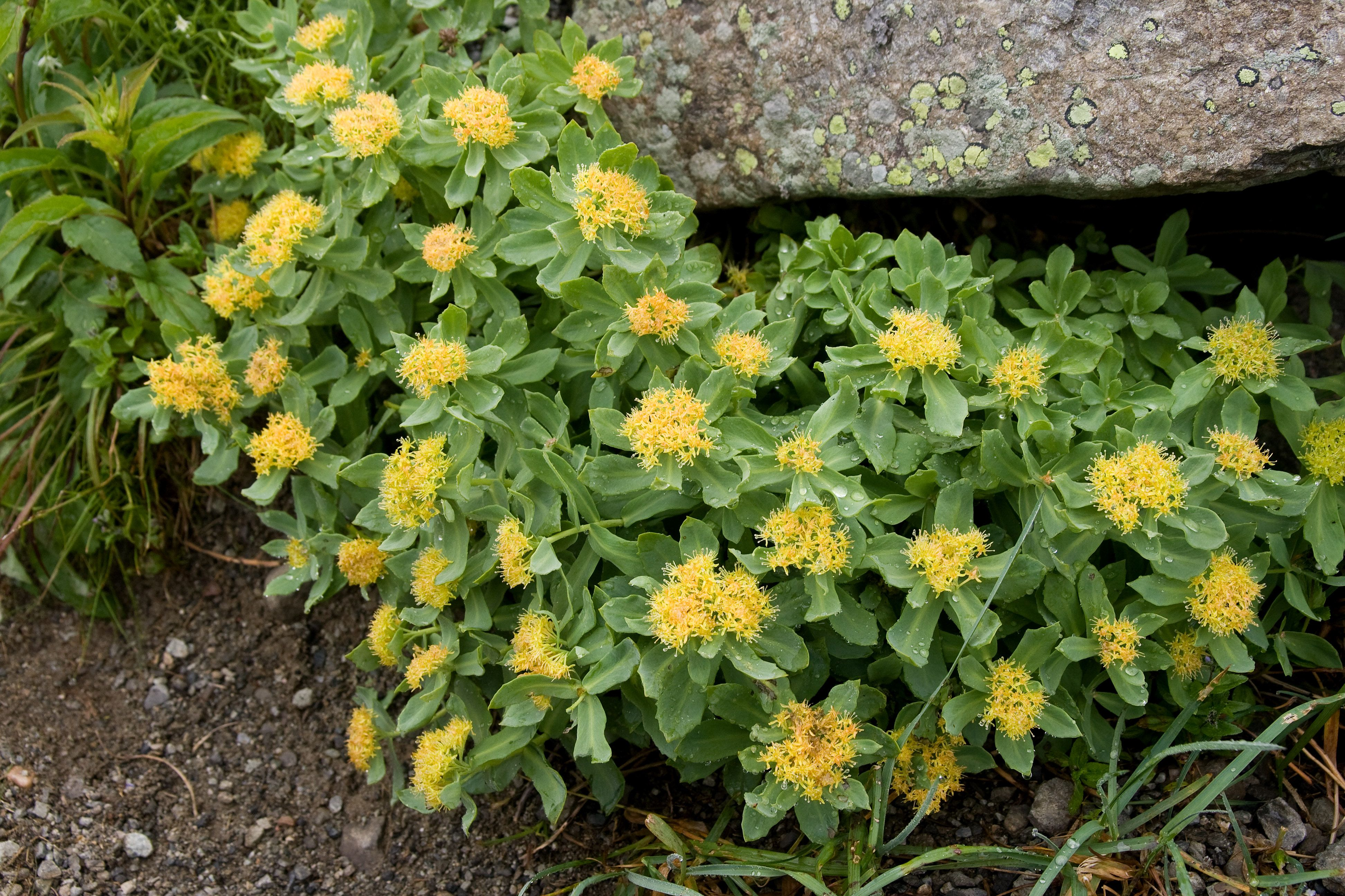 #Rhodiola is a great herb for helping to stabilize #AdrenalFunction, as its incredible for combatting stress. #AskDrNigma #ReverseTheSignsOfAgeing #YoungerSkinStartsInTheGut