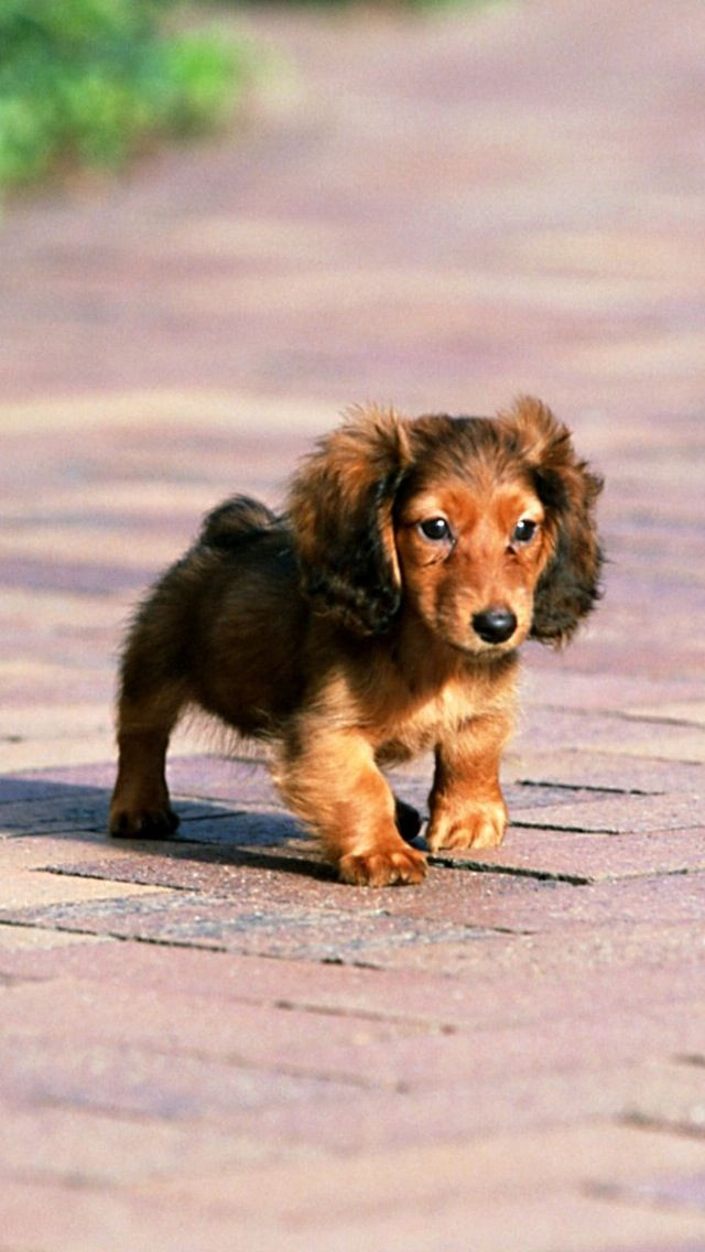 Dashhounds Dachshund Puppies Dachshund Puppy Miniature Puppies