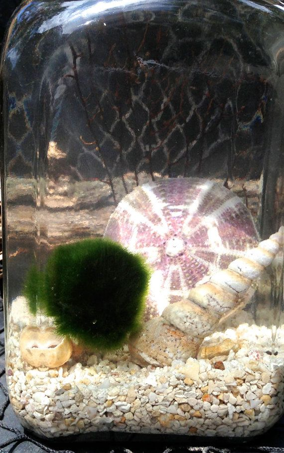 Live Japanese Marimo Pet In The Crushed Coral By Eclecticzenmarimo