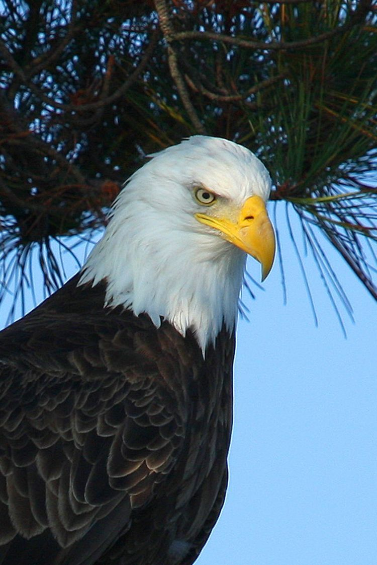 Pin By Steve Nobes On Eagles Pinterest Bird Bald Eagle And Bald
