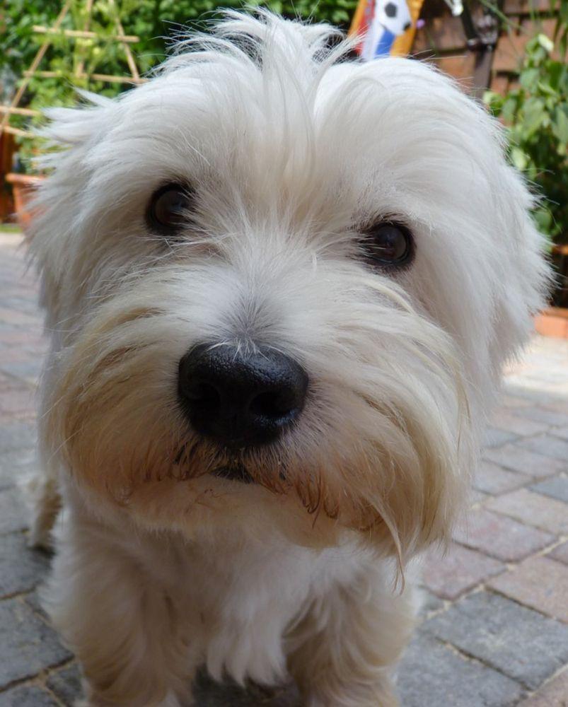 Westies soooo cute pinterest westies pup and animal
