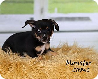 Conroe Tx Chihuahua Dachshund Mix Meet Monster A Puppy For Adoption Puppy Adoption Kitten Adoption Pets