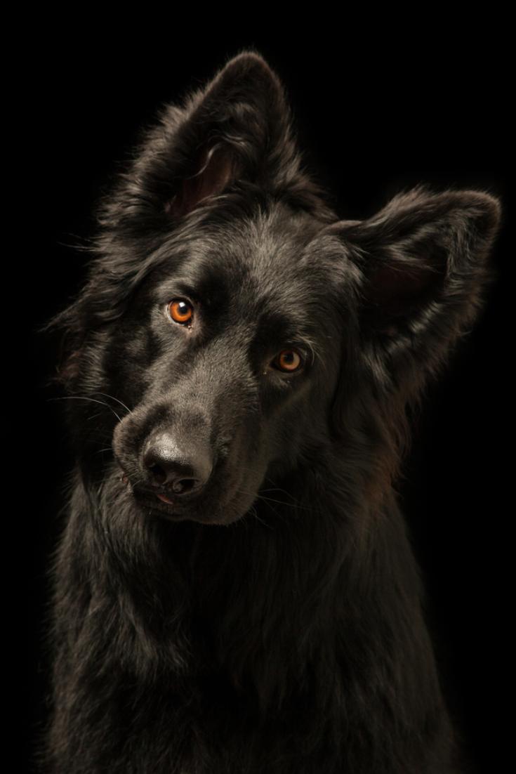 Young Happy Black Dog On Black Background Breed Is Old German Shepherd Dog Germanshepherd Black Dog Black Dogs Breeds Shepherd Puppies