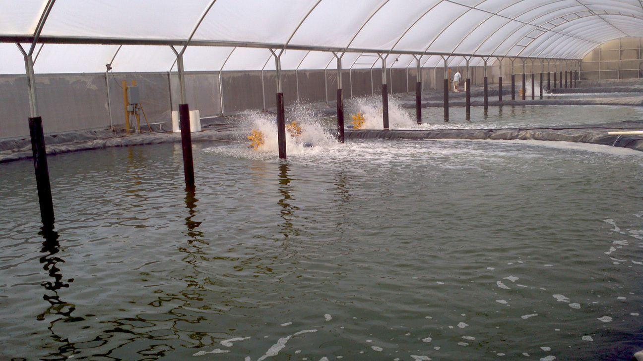 Kết quả nghiên cứu ảnh hưởng của biofloc lên các chỉ tiêu tăng trưởng và hệ miễn... | Vietnam Aquaculture Network - Mạng Thủy sản Việt Nam