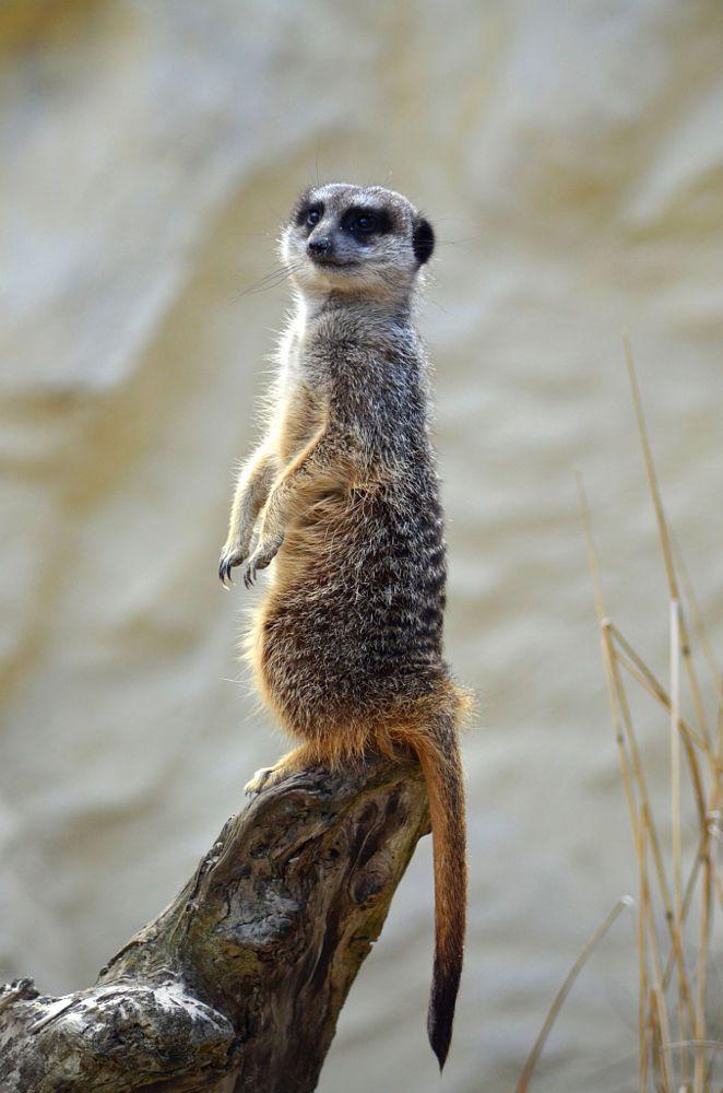 a cute meerkat by David RIGAUX on 500px | Meerkat, Cute ...