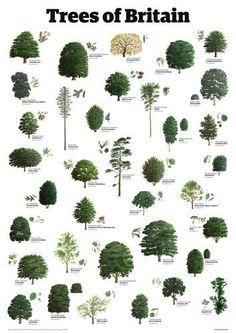 English Tree Species Google Search Tree Leaf Identification