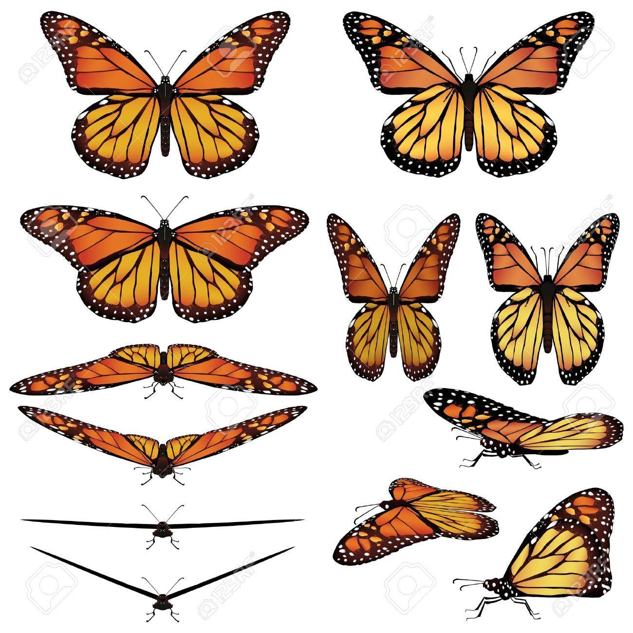 monarch butterfly google search [ 1300 x 1300 Pixel ]