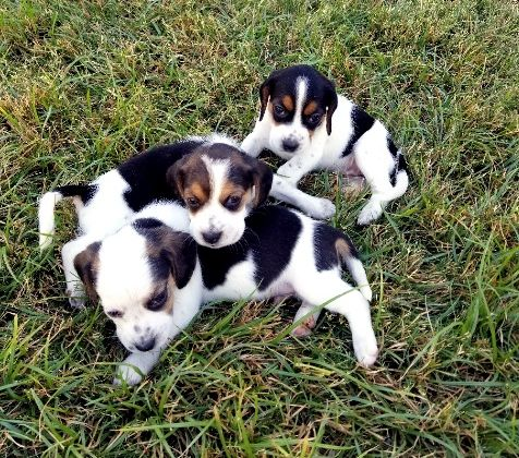 Litter Of 5 Beagle Puppies For Sale In Gilbert Az Adn 47081 On