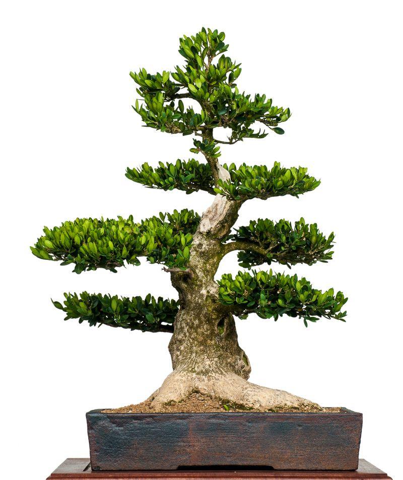 buchsbaum buxus sempervirens als bonsai bonsai b ume. Black Bedroom Furniture Sets. Home Design Ideas