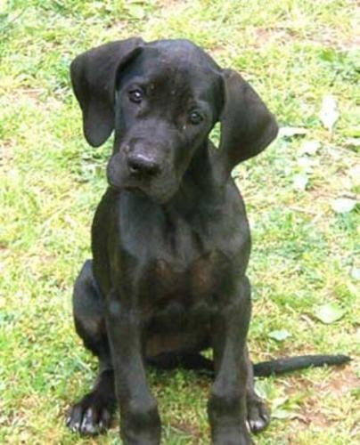 I Mean The Head Tilt Dane Puppies Great Dane Puppy Dane Dog