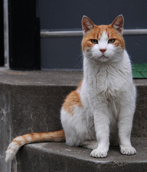 Orange And White Tabby Cat With The Impressive Tail Hisashi 01a