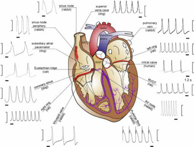 See figure pacemaker potentiality in the heart the schematic the schematic diagram of the heart shows different from publication structure function and clinical relevance of the cardiac conduction system ccuart Choice Image
