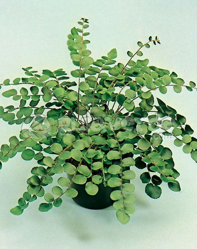 Helecho bot n pellaea rotundifolia helechos plantas for Vivero de plantas exoticas
