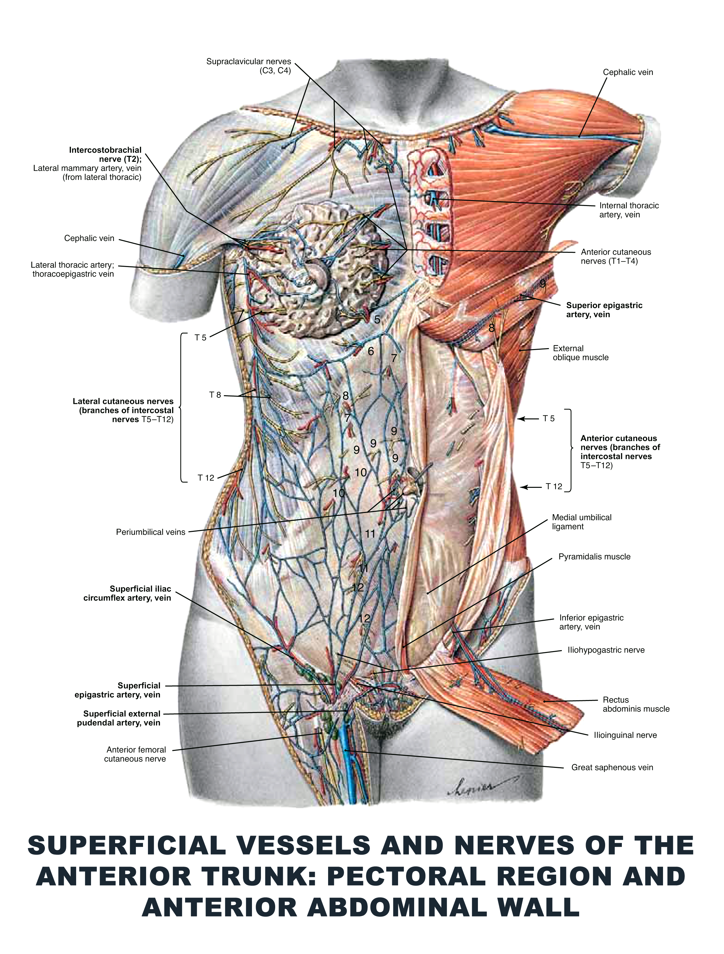Superficial Vessels and Nerves of the Anterior Trunk: Pectoral ...