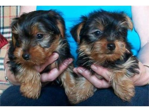 AKC Yorkie Puppies Availa - $300 - recycler com | possible