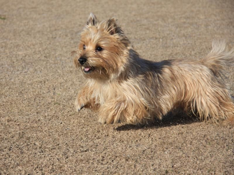 Cairn Terrier Looks Just Like My Girl With Images Cairn