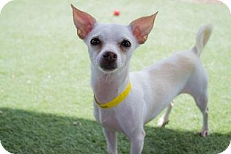 Pictures Of Zeke A Chihuahua Mix For Adoption In Colorado Springs