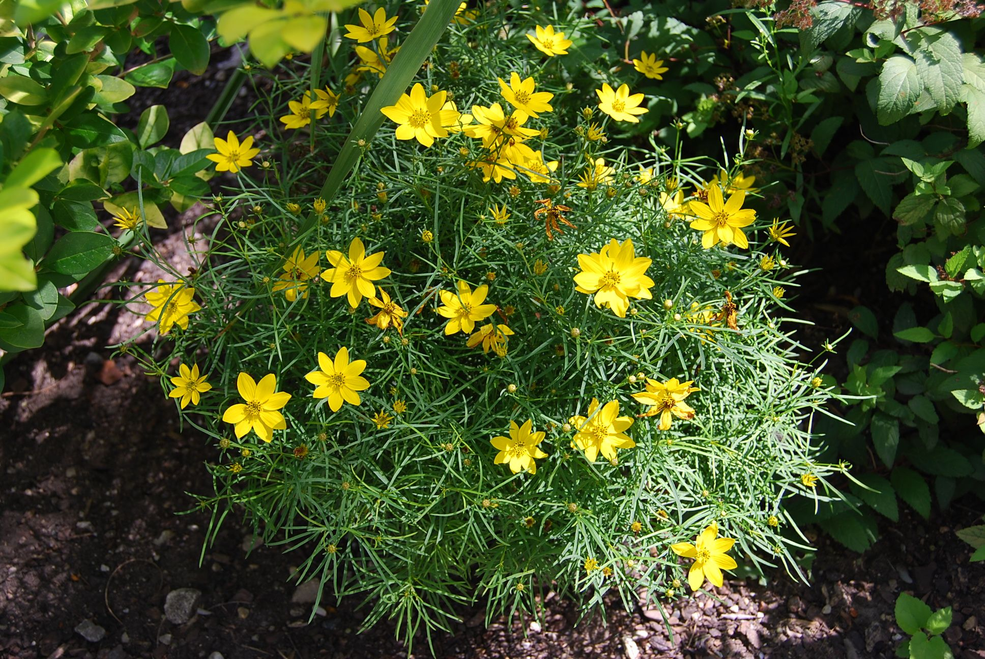 Plant Of The Month Coreopsis Verticillata Zagreb