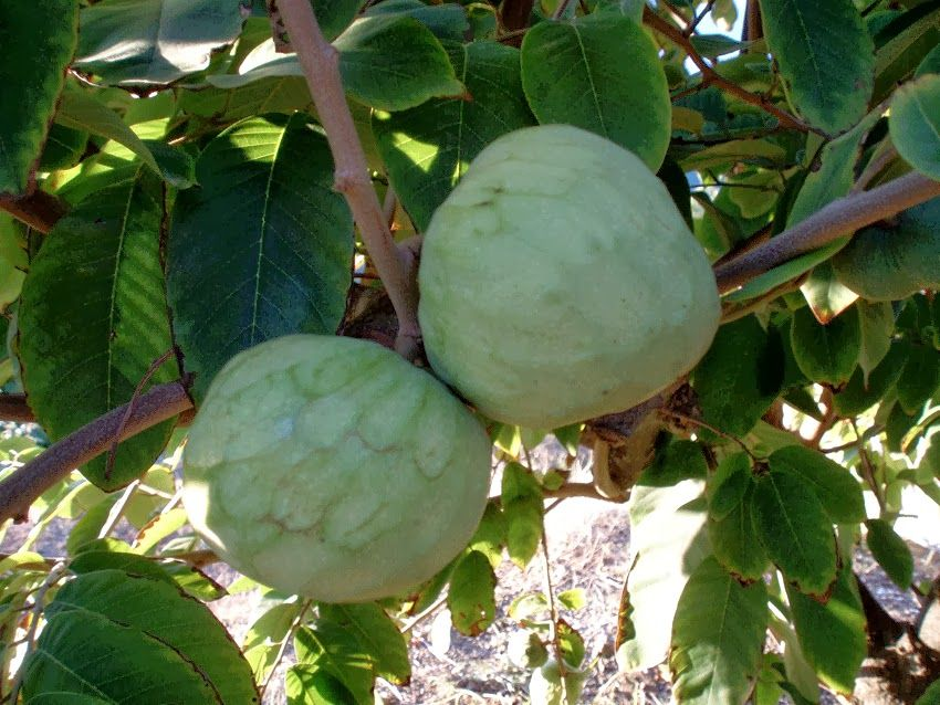 fruit salad tree cherimoya fruit