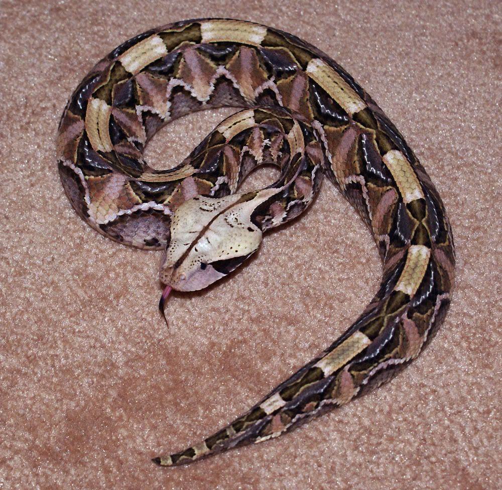 Alabama black snake 5