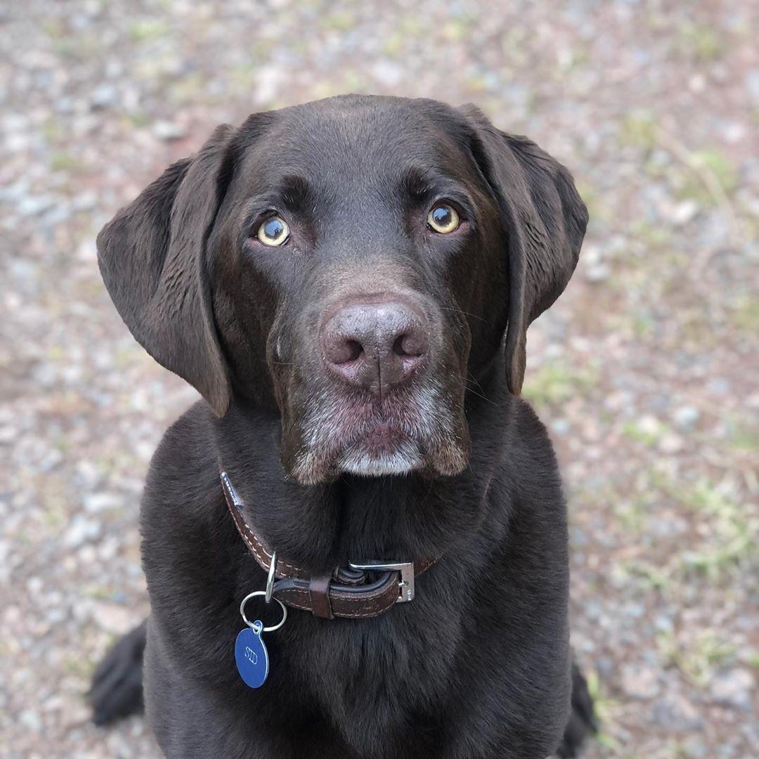 Best 3d Labrador Stikers For 0 99 Labrador Retriever Labrador Dogs