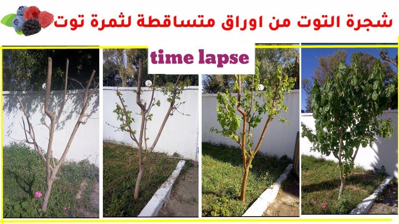 Pin On مراحل نمو شجرة التوت من الخريف لحين الاثمار و معلومات عن زراعة شجرة التوت فيديو مسرع Https Youtu Be Kms 8onrua