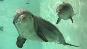 Resultado de imagem para golfinho bebe