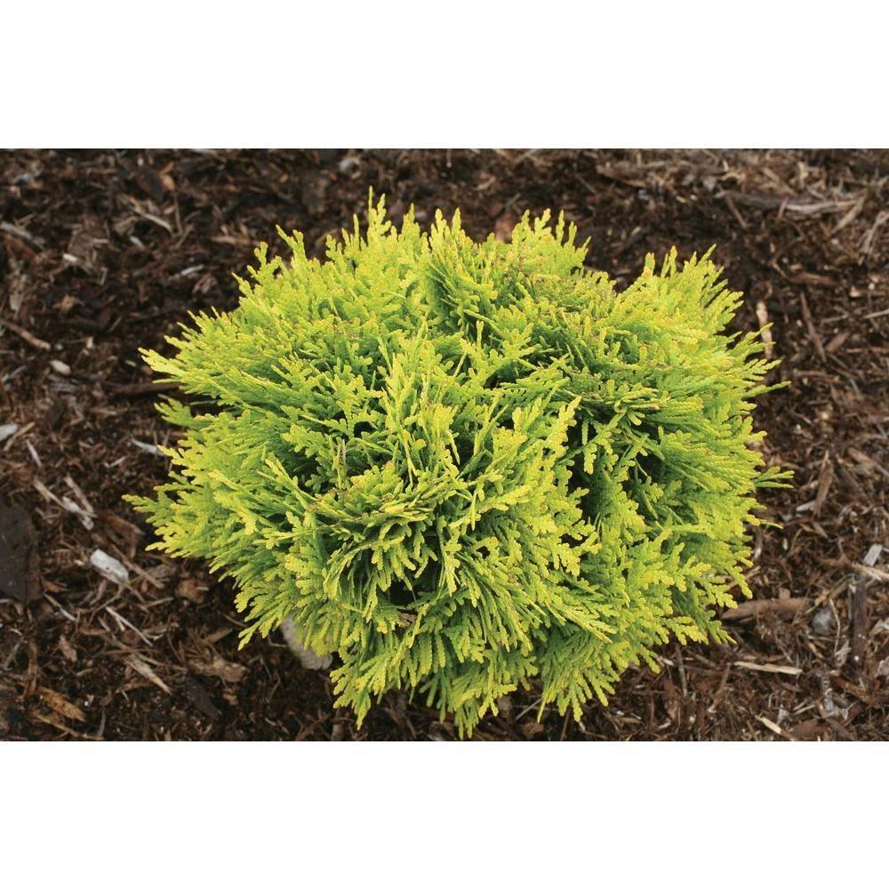 Annas magic ball arborvitae thuja live evergreen shrub