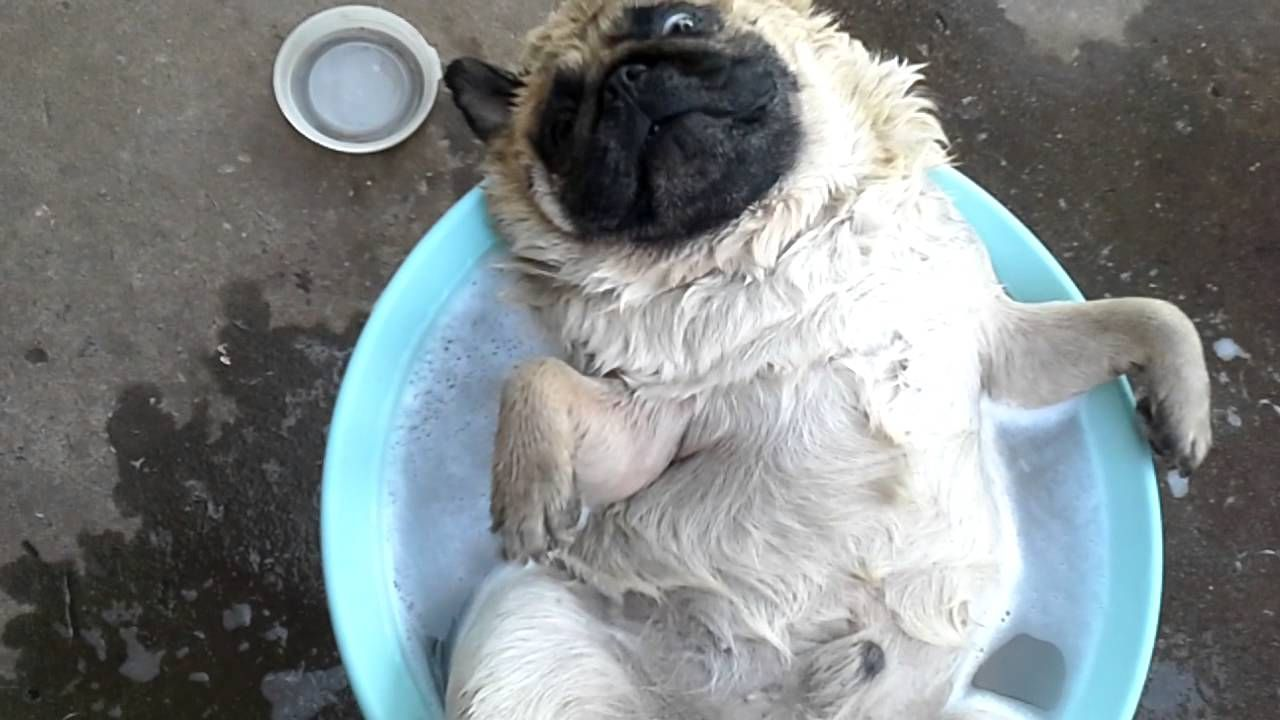 A pug that knows how to chill pugs funny relaxed dog