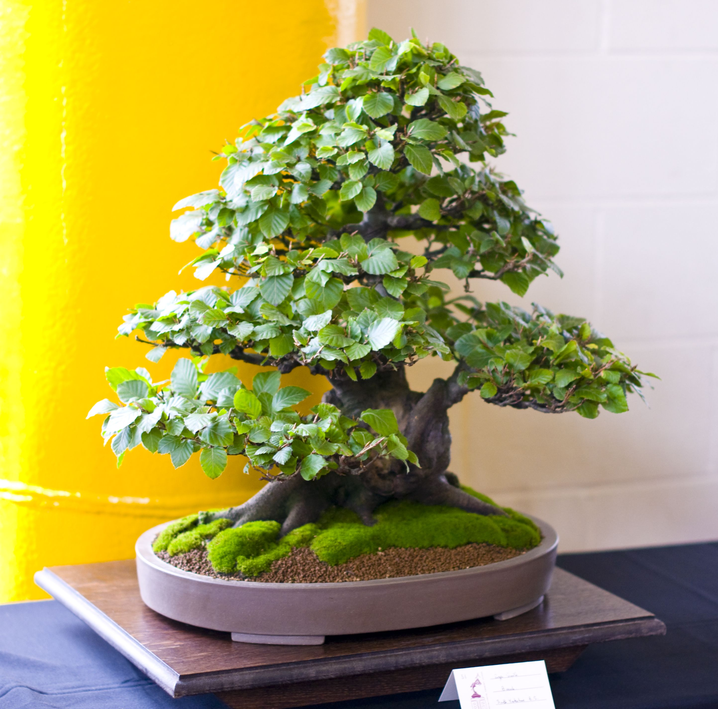 How to take care of a bonsai tree - 17 Best Images About Bonsai On Pinterest Wisteria To Find Out And Empire