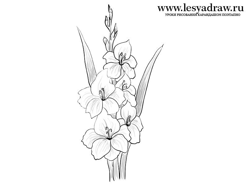 How To Draw A Gladiolus Pencil Drawings Of Flowers Gladiolus Flower Tattoos Beautiful Flower Drawings