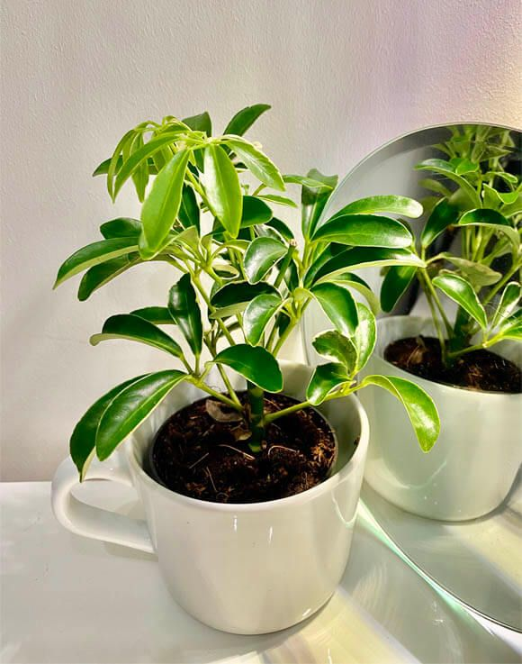 Young and small Umbrella Plant growing in a white coffee cup in 2020 | Plant care, Umbrella ...