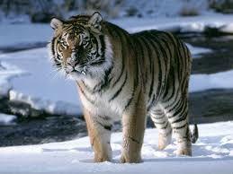 tigre - Recherche Google