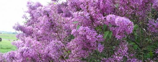 The Lilacs Are Blooming | Solanus Center