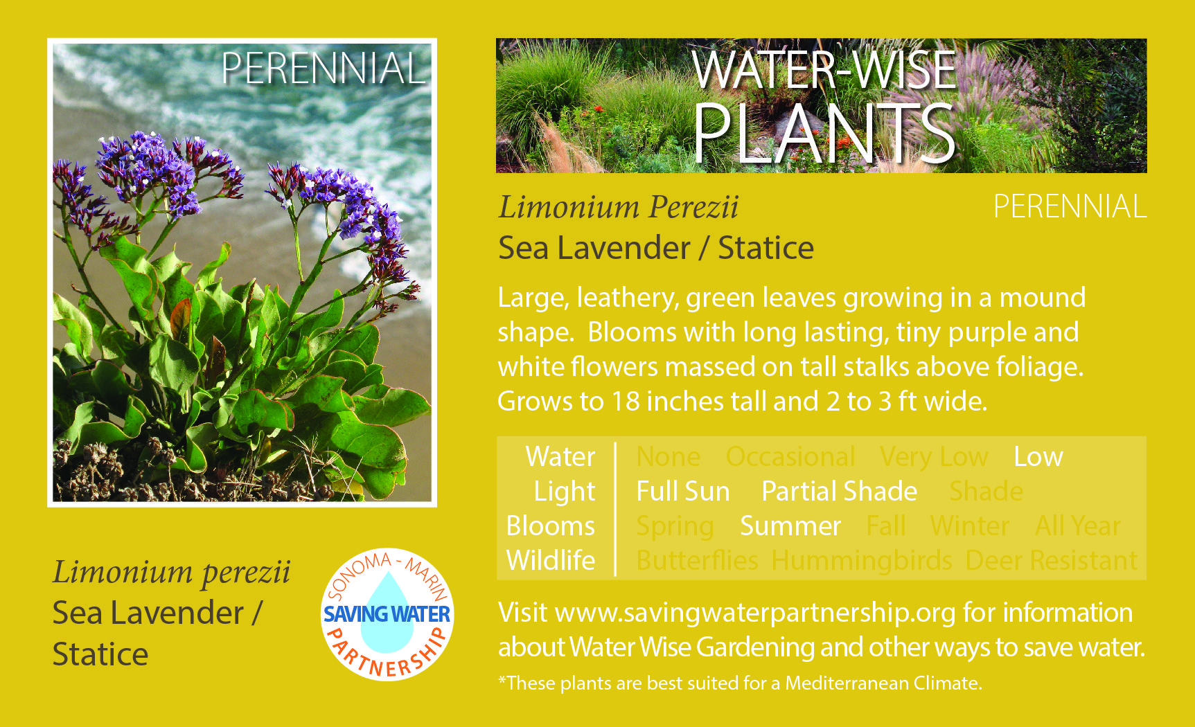Limonium Perezii Sea Lavenderstatice Blooms With Long Lasting