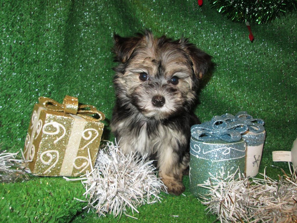 Morkie Puppies For Sale. Maltese X Yorkshire Terrier
