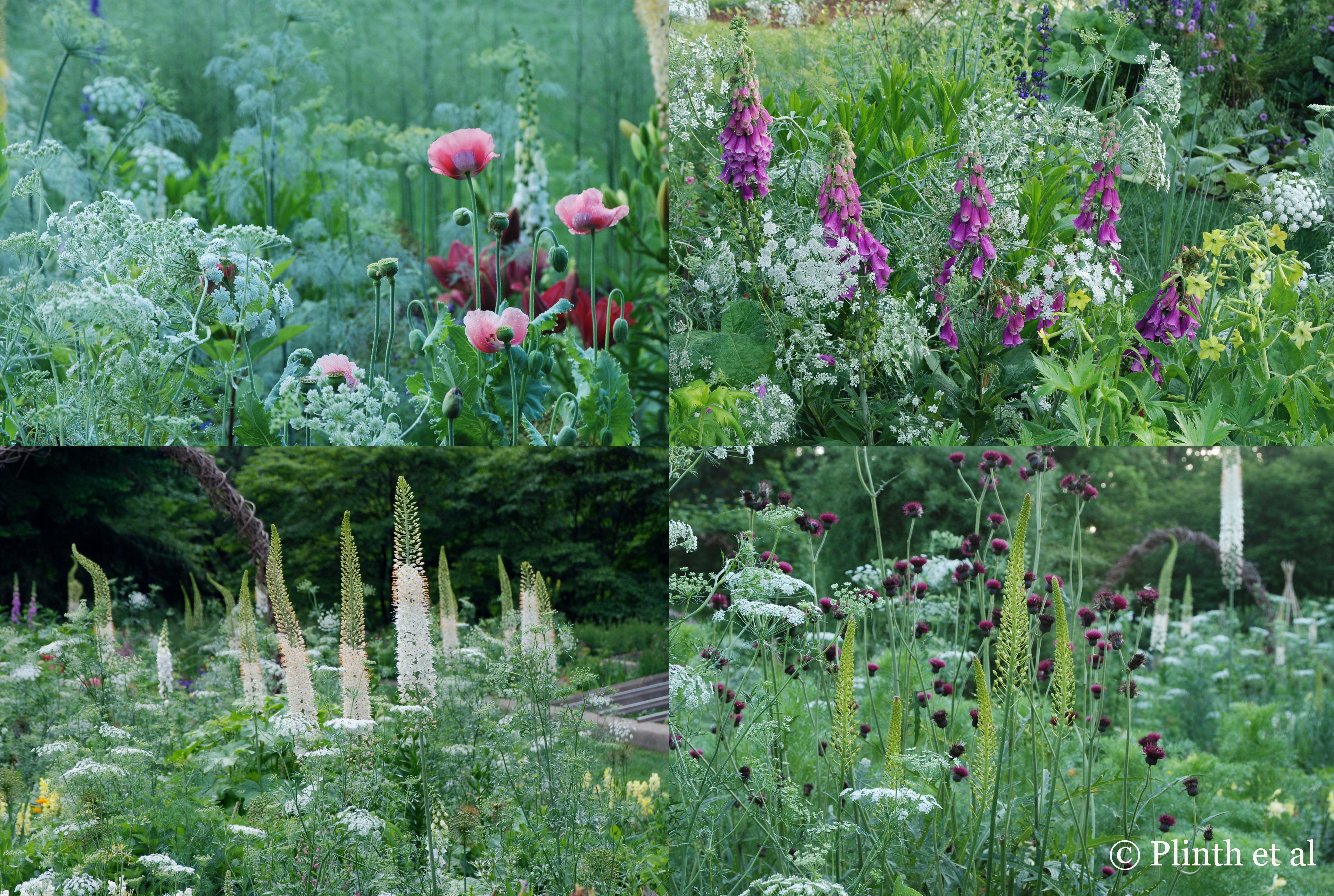 Luxury Ammi majus is a stellar player in different ensembles in the Cut Flower Garden Digitalis purpurea and Nicotiana uLime Green u Eremurus x robustus