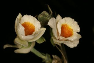 Lockhartia bennettii