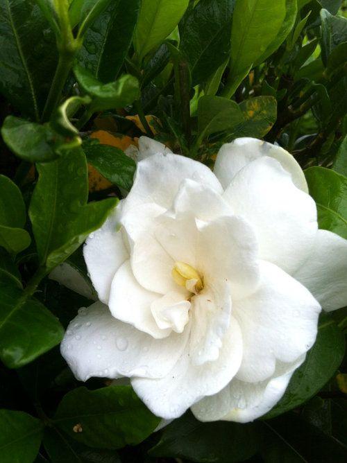 August Beauty Gardenia Shop Online With Plantsbymail Com 400 x 300