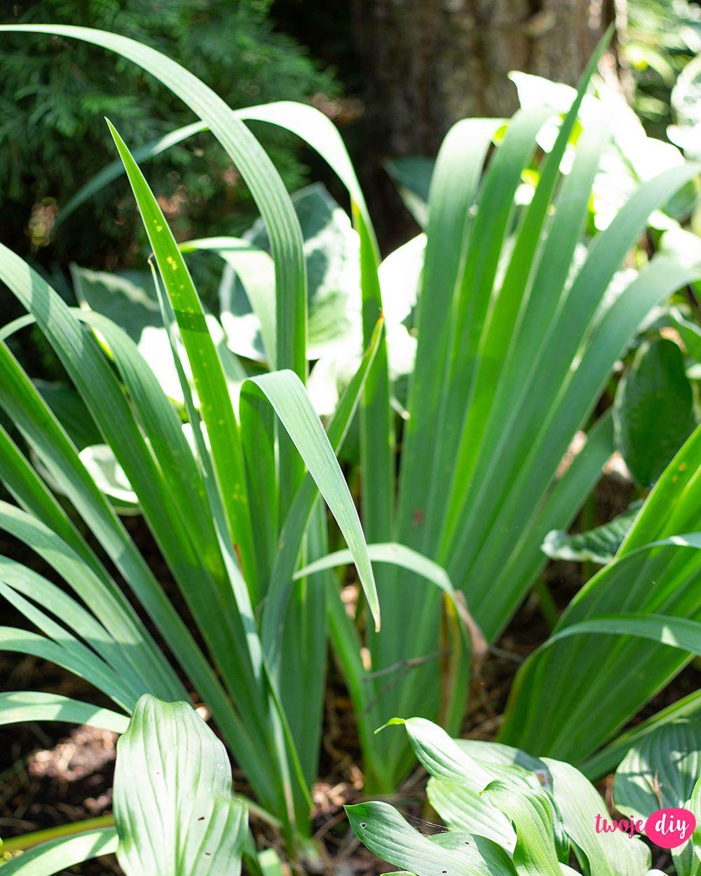 19 Roslin Ktore Beda Rosly W Zacienionych Miejscach Twoje Diy Garden Plants Flowers