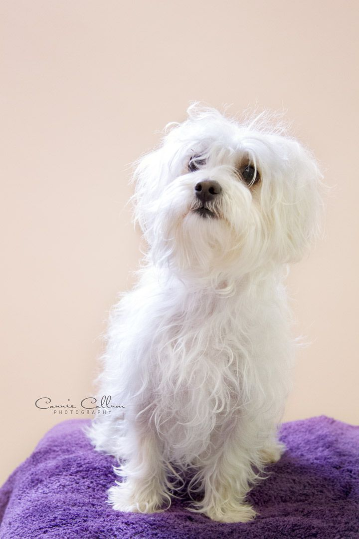 Adopt Willie On Dogs Dog Lovers Westies
