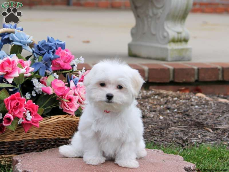 Maltese Puppies For Sale In Pa Maltese Puppy Maltese Puppies