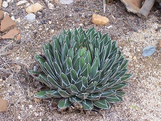 Sukkulenten im Garten hat folgende Stichwörter: Namibia,  Outjo.