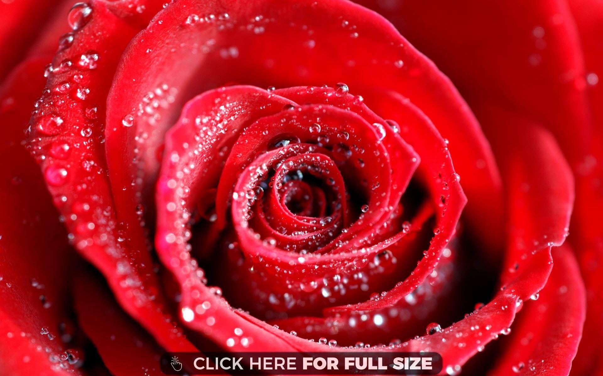 Red Rose Flower 5642 Wallpaper