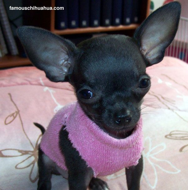 The Tiny Teacup Deerhead Chihuahua Puppy That Loves To Give Kisses
