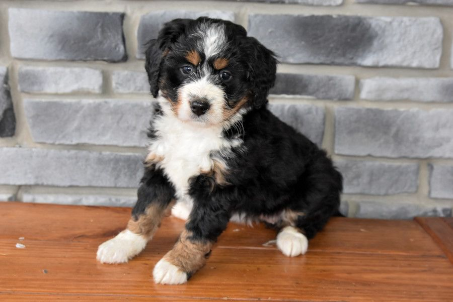 Mini Bernedoodle Puppies For Sale In 2020 Bernedoodle Puppy Bernedoodle Mini Bernedoodle