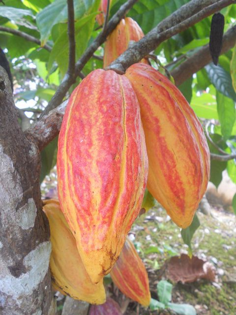cocoa tree fruit theobroma cacao fruits on trees pinterest fruits exotiques fruit et. Black Bedroom Furniture Sets. Home Design Ideas