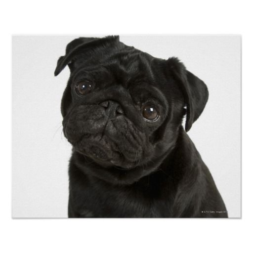 Close Up Of Black Pug On White Background Poster Black Pug