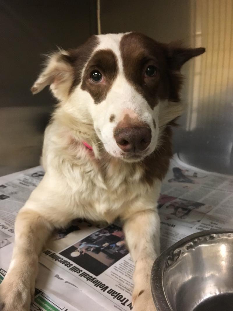 Adopt maddie on petfinder snuggle dog border collie